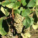 メジャー品種だけじゃ、つまらない!土着ブドウ品種に注目!①