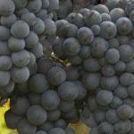 メジャー品種だけじゃ、つまらない!土着ブドウ品種に注目!②