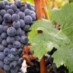 ブドウ品種を知ると、ワイン選びが一歩進む⑤マリアージュの幅が広がる品種、「カベルネ・フラン」を知ると得をする!