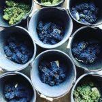 「白ブドウと黒ブドウ」について ワインはじめて講座