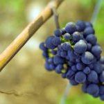 """「ブドウの""""品種""""とは」 ワインはじめて講座"""