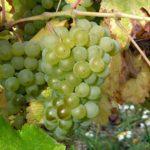 「ソーヴィニヨン・ブラン種について」 ワインはじめて講座