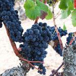 「ムールヴェードル種について その2」 ワインはじめて講座