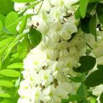 ワインボキャブラ天国【第2回】「アカシアの花」英:acacia 仏:acacia